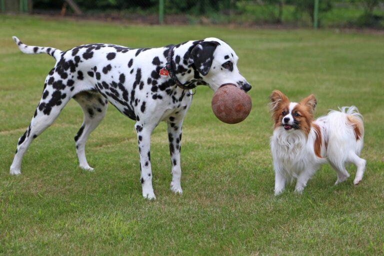 Als Zweithund kann man einen Dalmatiner gut mit einem Zwergspaniel vergesellschaften.