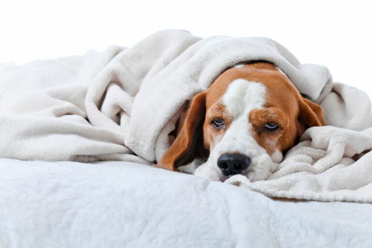 Ein Hund liegt mit Scherzen unter einer Decke.