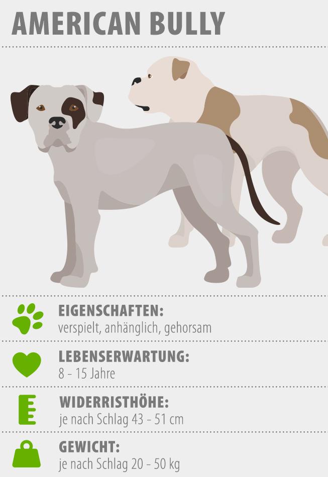 Infografik zum American Bully Hunderasse