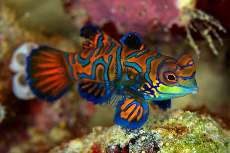 Ein Mandarinfisch im Meerwasseaquarium