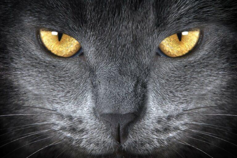 Das Gesicht einer Katze in Nahaufnahme