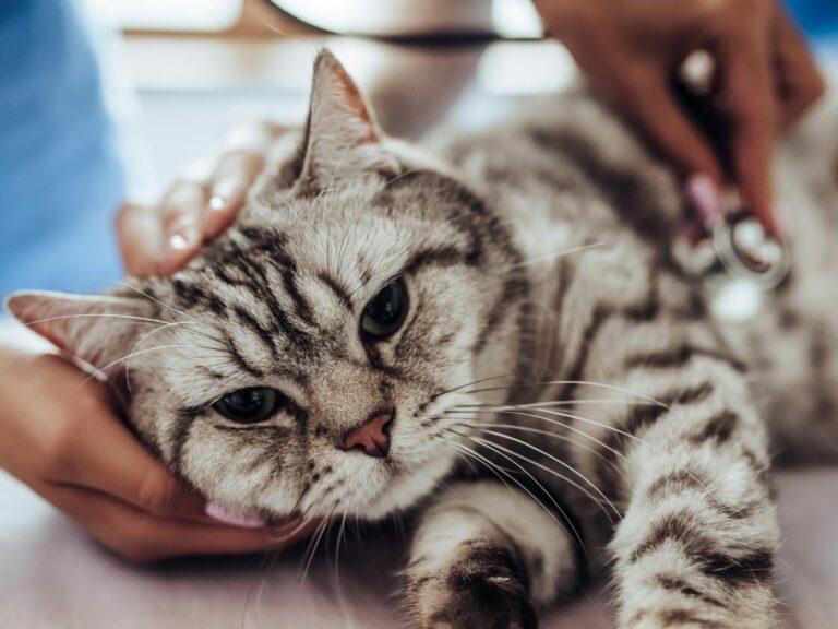 Tierarzt untersucht Katze auf Katzenseuche