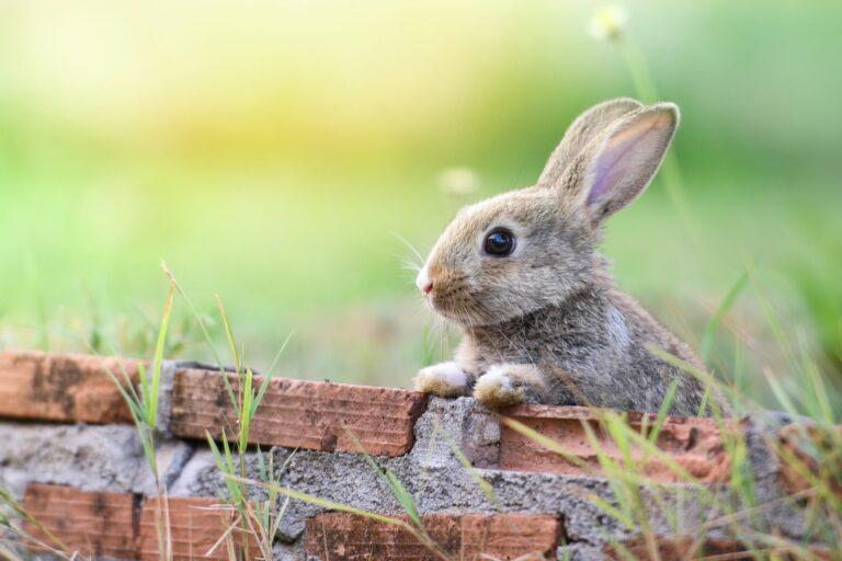 Kaninchen schaut über eine Mauer.
