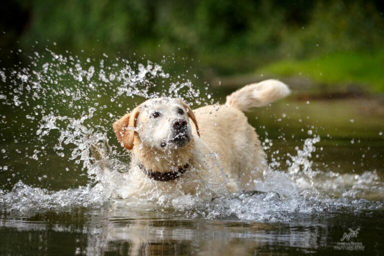 Hund spielt im Wasser. Schluckt er zu viel Wasser, droht eine Wasservergiftung beim Hund.
