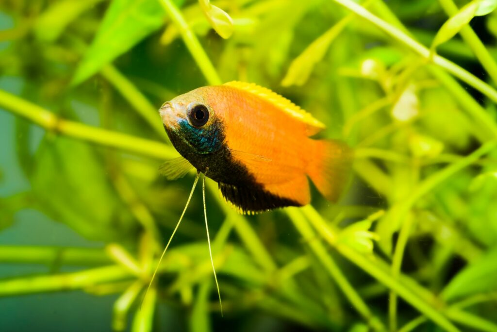 Ein männliches Exemplar des Honigguramis.
