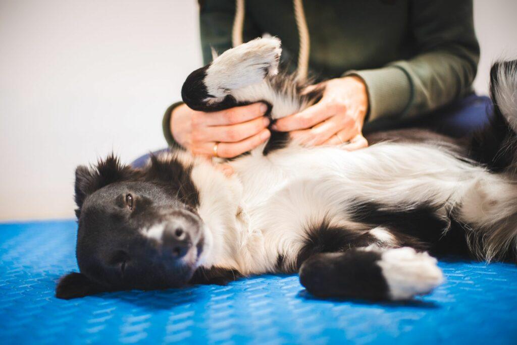 Hund entspannt bei der Massage.