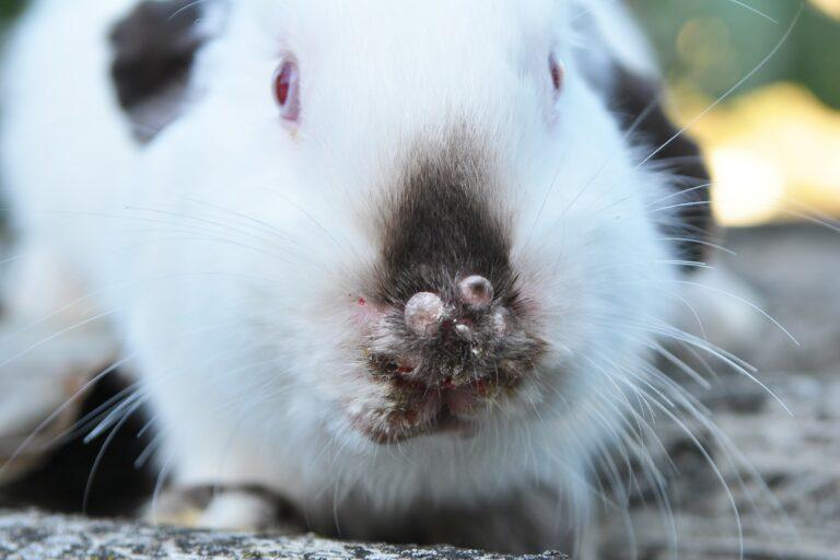 Kaninchen an Kaninchenpest erkrankt.