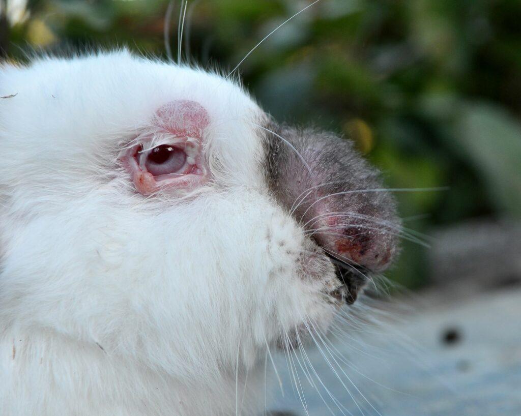 Kaninchen ist an Myxomatose erkrankt.