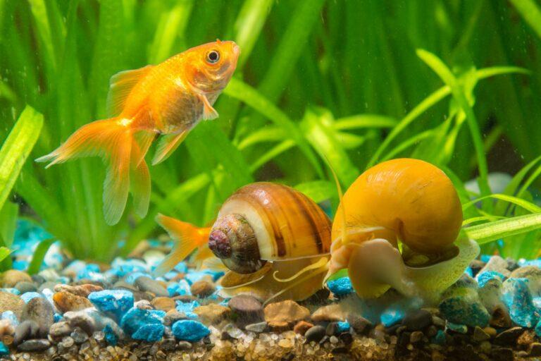 Schneckenplage im Aquarium