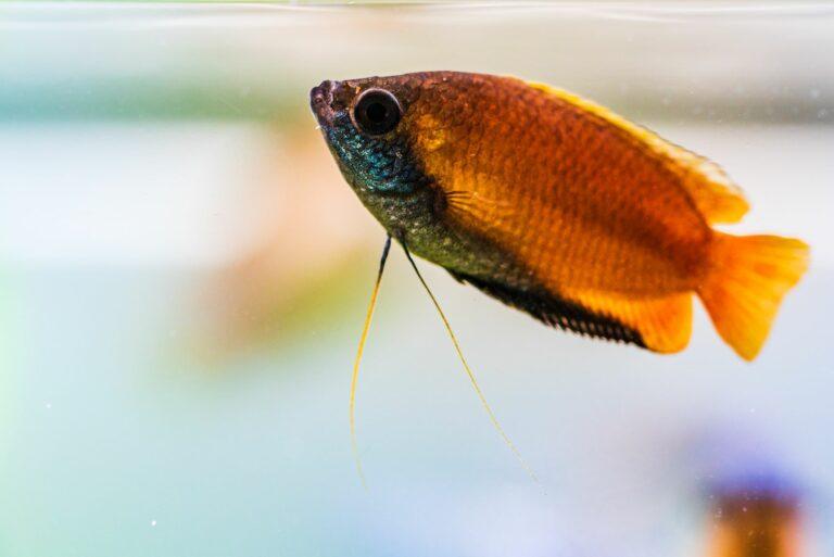 Ein Honiggurami in einem Aquarium