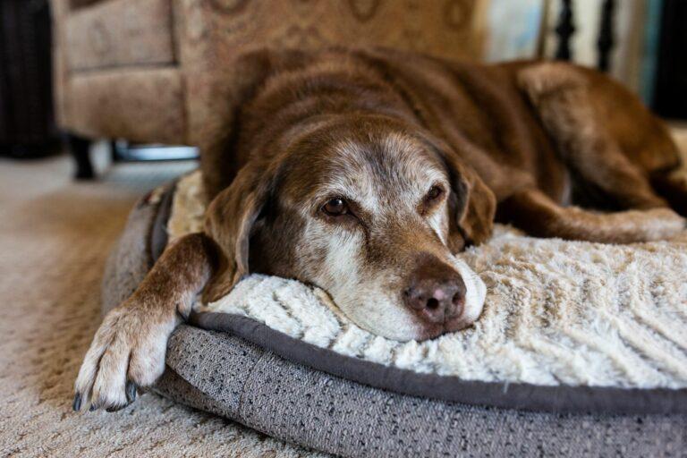 Ein alter Hund liegt auf einem Hundebett