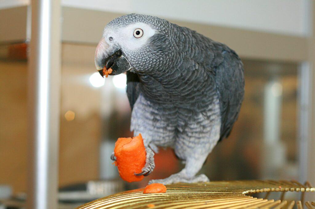 Ein Graupapagei frisst eine Karotte