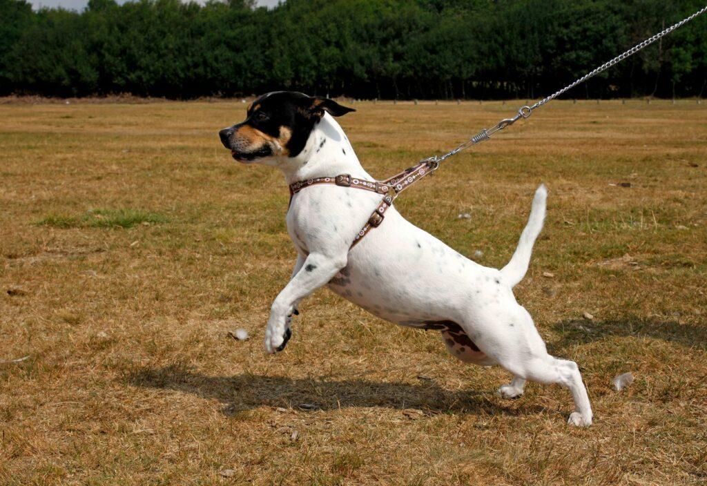 Ein kleiner Hund zieht an einer Leine