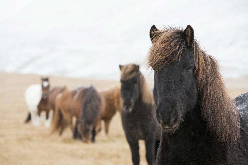 Eine Herde von Islandponys auf Island