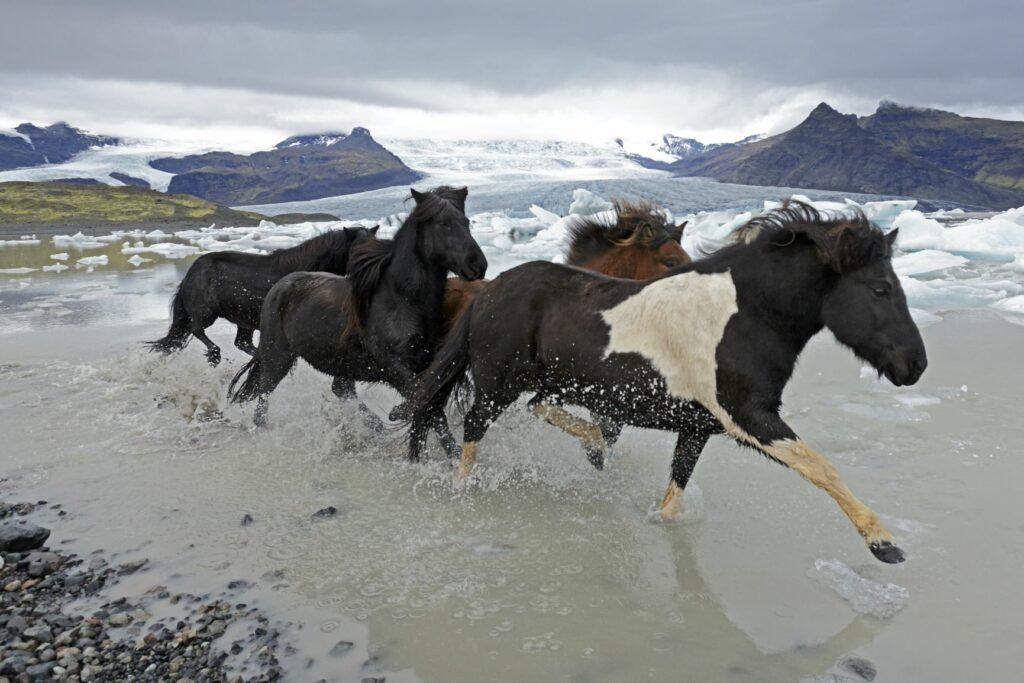 Islandpferde reiten durch Gletschersee auf Island