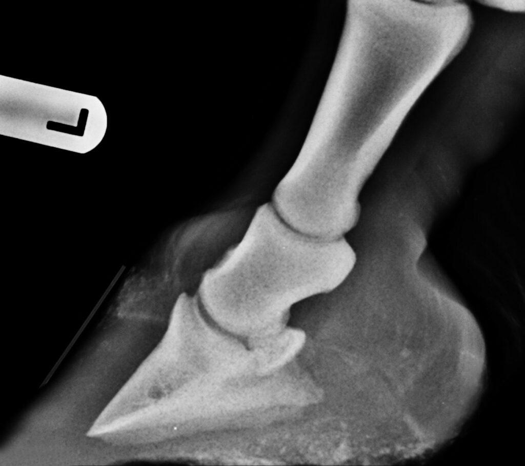 Röntgenbild eines Pferdehufs