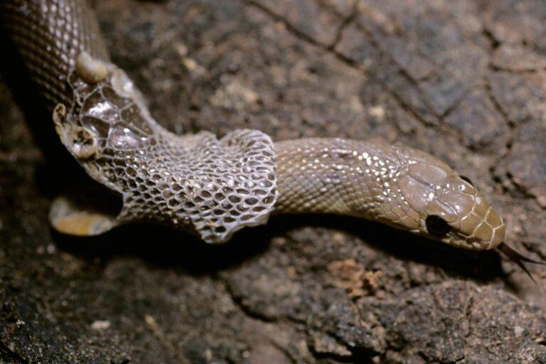 Häutung einer Schlange