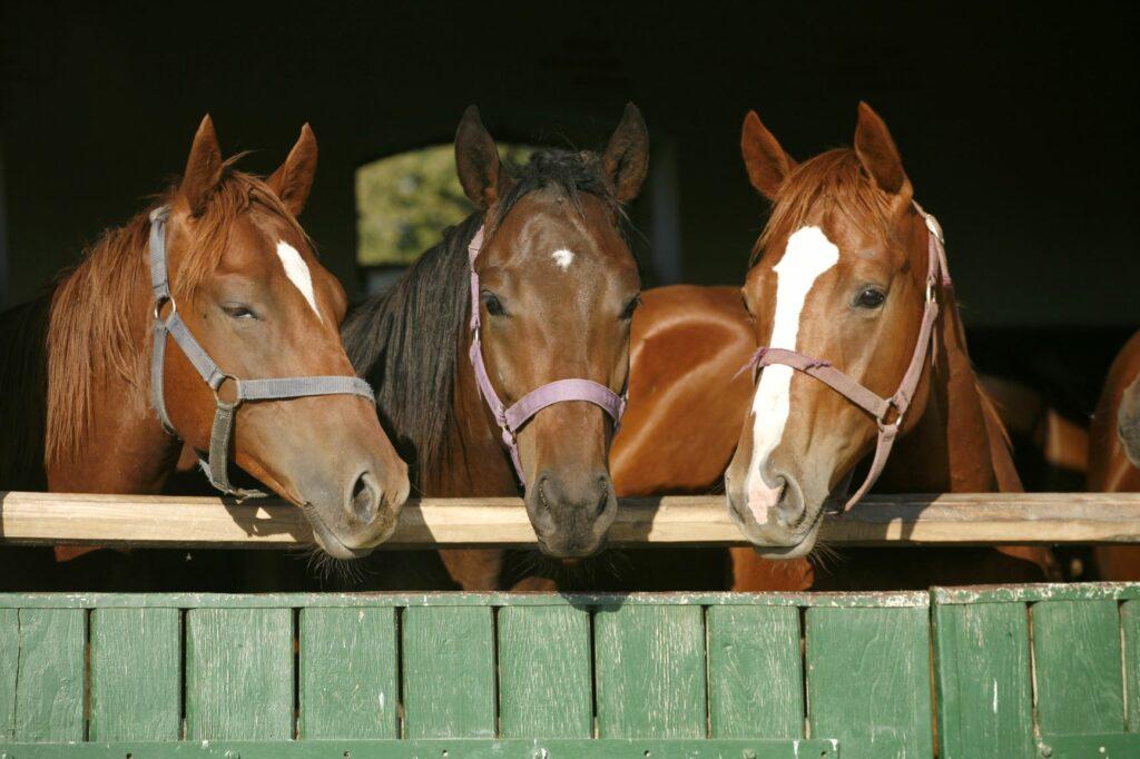 Drei Vollblut-Fohlen im Stall