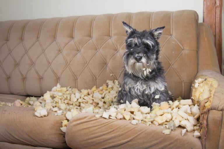 Hund in der Pubertät zerstört ein Sofa.