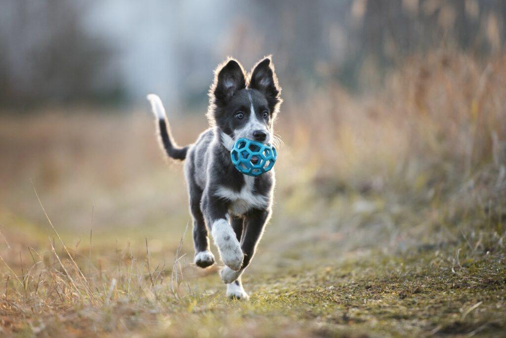 Hund in der Pubertät spielt mit einem Ball.