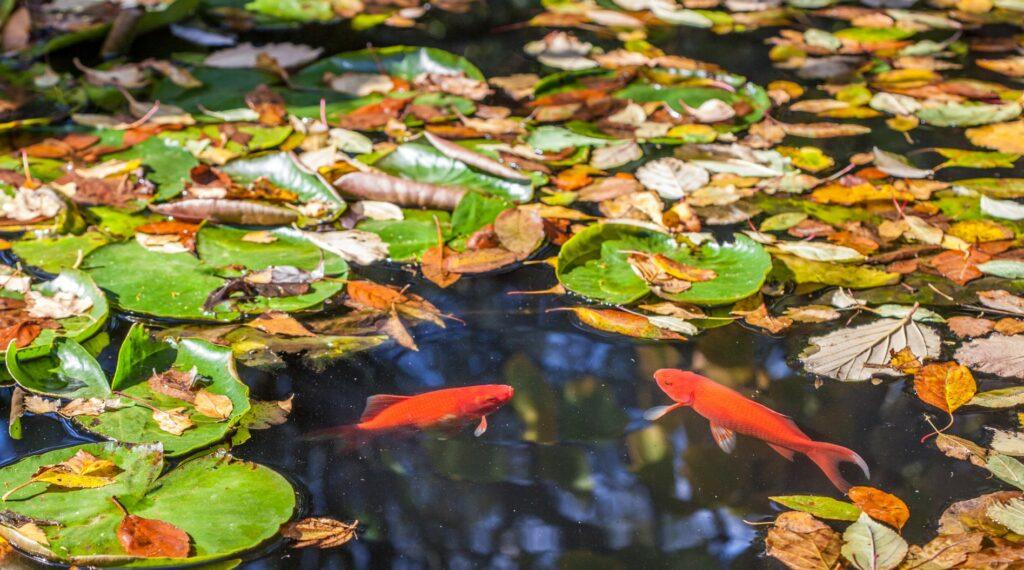 Goldfische im Teich während der Herbstzeit
