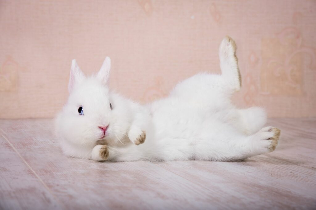 Kaninchen liegt auf dem Rücken.