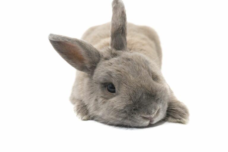 Kaninchen liegt.