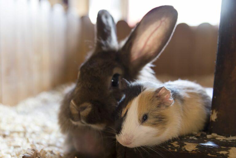 Meerschweinchen und Kaninchen im Stall.