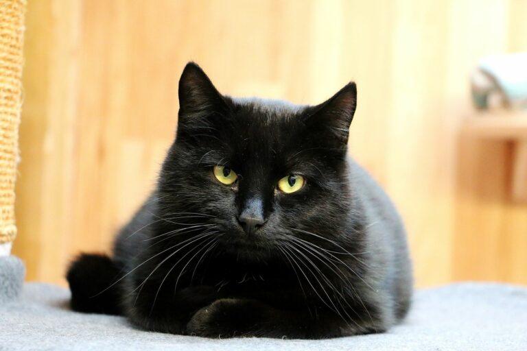 Liegende schwarze Katze.