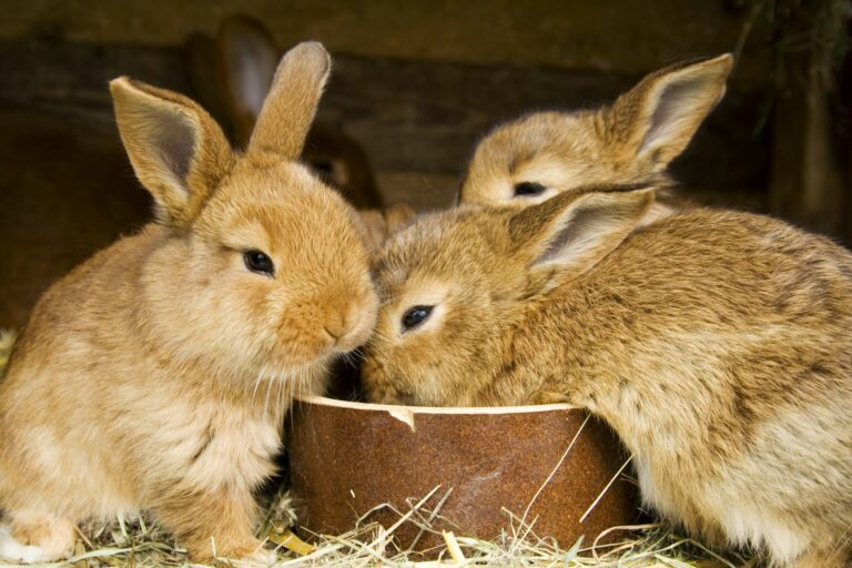 Das Geschlecht von jungen Kaninchen ist schwer zu bestimmten.