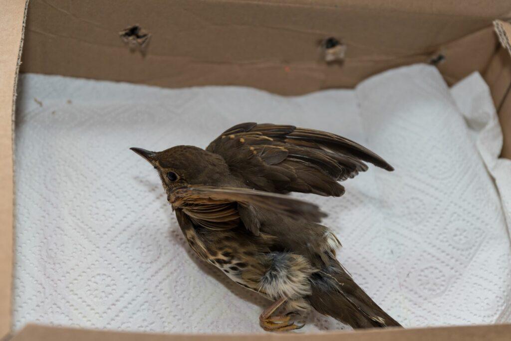 Verletzter Vogel im Karton.