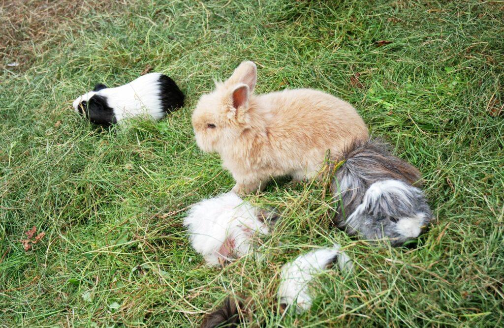 Eine Gruppe von Kaninchen und Meerschweinchen.