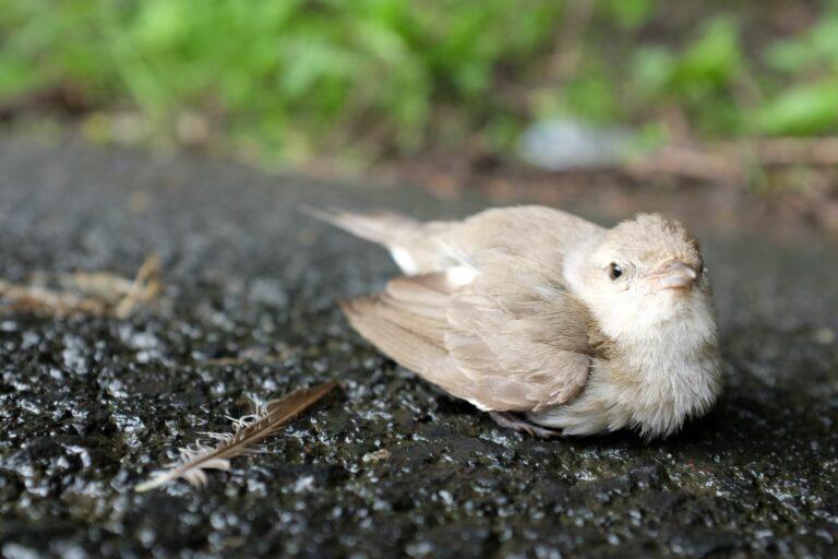 Verletzter Vogel liegt auf dem Weg.