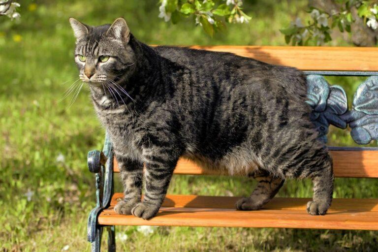 Eine Manx-Katze steht auf einer Parkbank