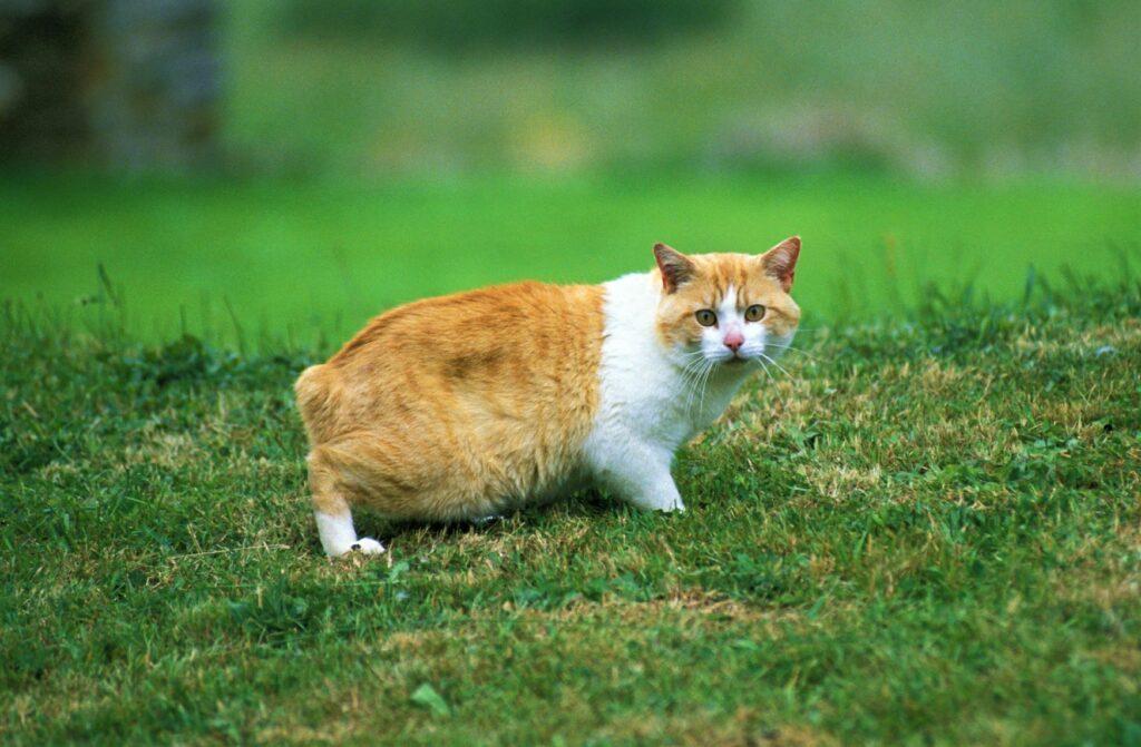Eine Manx-Katze auf einer Wiese
