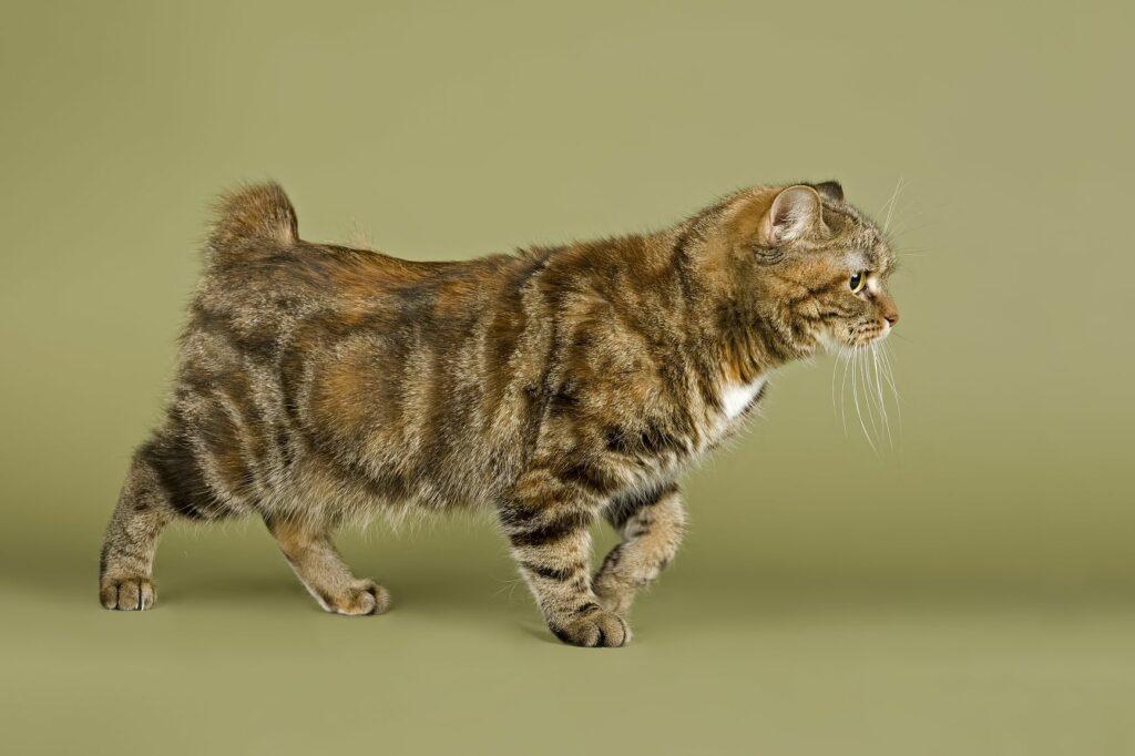 Eine Manx Katze mit kurzem Stummelschwanz