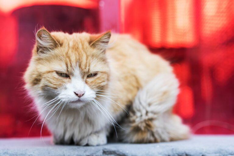 Eine an Katzenaids erkrankte Katze