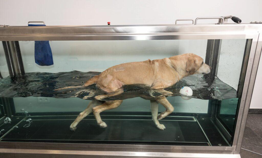 Ein Hund auf einem Unterwasserlaufband