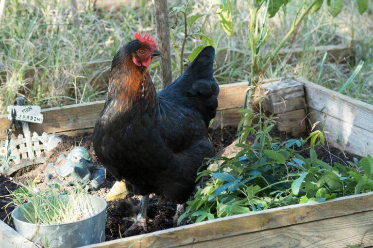 Marans Huhn im Beet.
