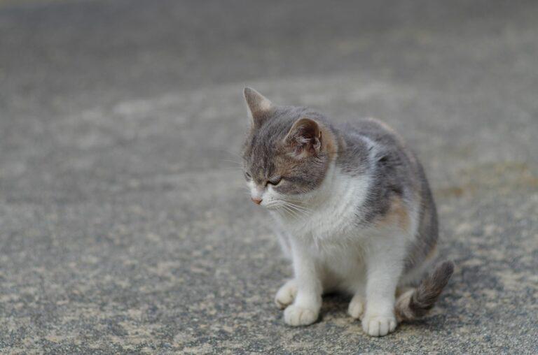 Arthritis bei der Katze
