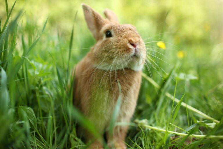 Außenhaltung: Kaninchen sitzt draußen im Gras.