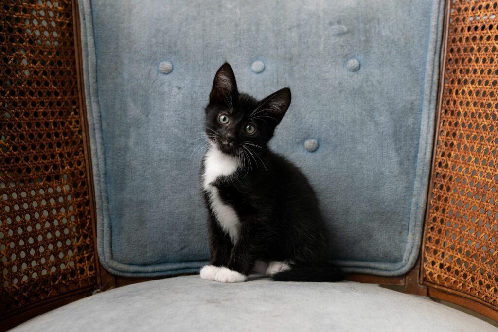 Kleines Tuxedo-Kätzchen aus einem Sessel.