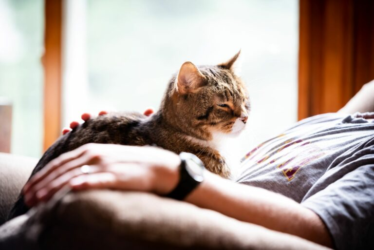 Katze zeigt Vertrauen, indem sie auf dem Schoß schläft.