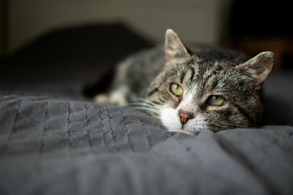 Arthritis sorgt bei Katzen manchmal für Lahmheit.