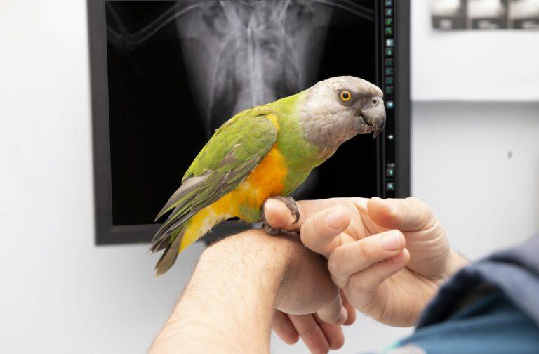 Papagei beim Tierarzt mit Aspergillose.