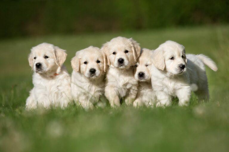 Fünf weiße Golden Retriever Welpen