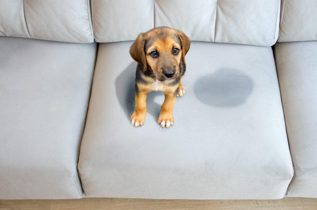 Hundewelpe sitzt neben Urinfleck auf der Couch.