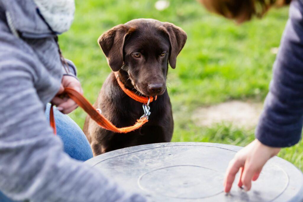 Ein junger Labrador lernt ein Kommando