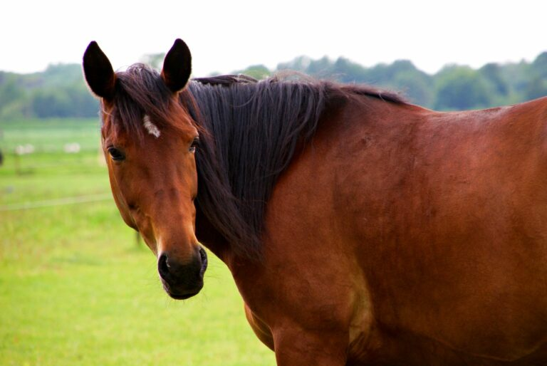 Oldenburger Pferd braun