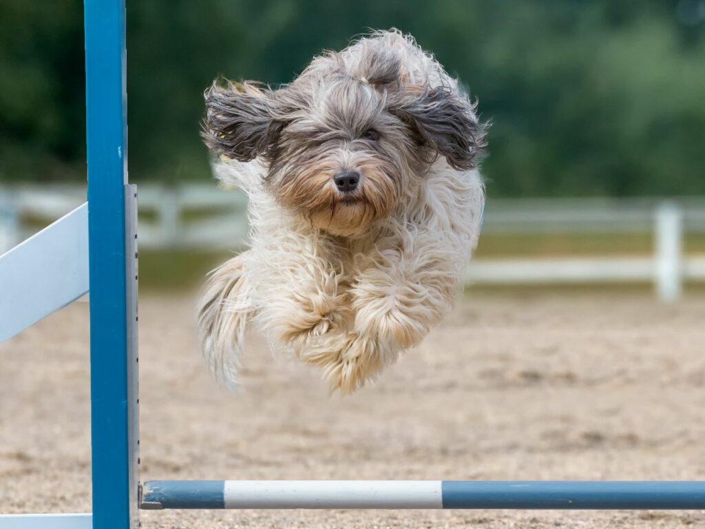 Ein Schapendoes springt über einen Balken